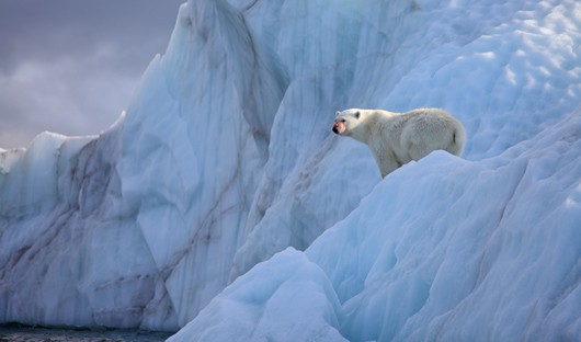 Polar bear Franz osef Land Arctic Travel Centre
