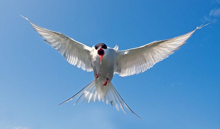 Arctic Tern Arctic Wildlife