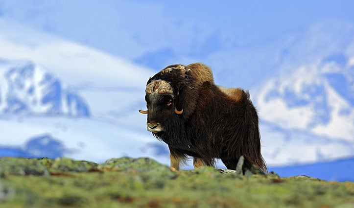 Musk Ox Arctic Wildlife