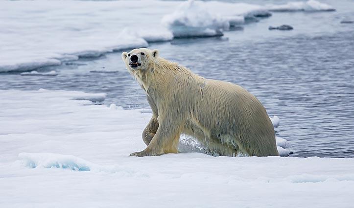 Polar Bear Arctic Wildlife