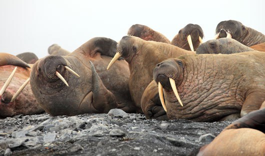 walrus-moffen-island-spitsbergen-arctic-travel-centre