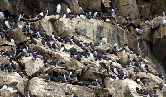 guillemot-cliffs-arctic