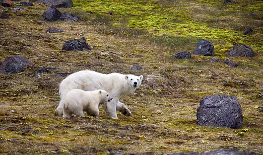 Polar Bear Franz Joseph