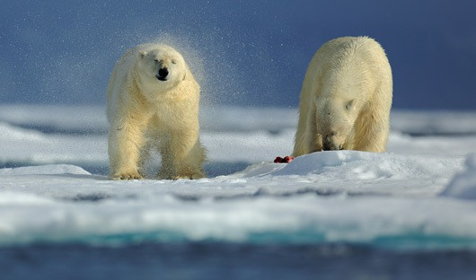 Polar Bear - Canadian High Arctic