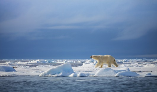 polar-bear-sea-ice-franz-josef-land-high-arctic-ss