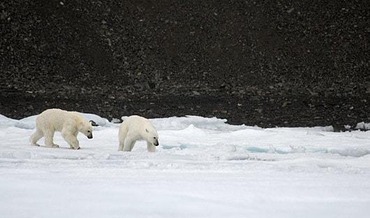 Polar bears Baffin Island
