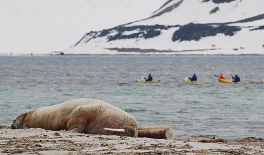 walrus-spitsbergen-arctic-travel-centre-alex-burridge