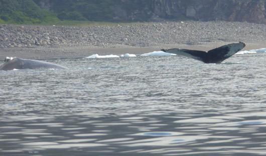 whales-arctic-cinzia-mucciante