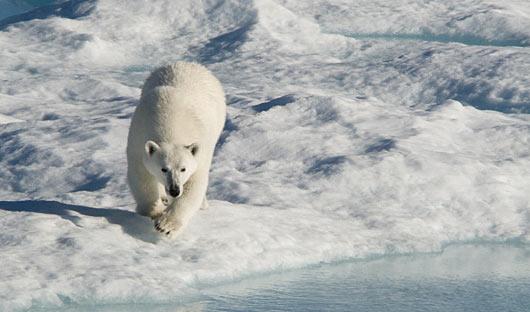 Canada High Arctic Polar Bear