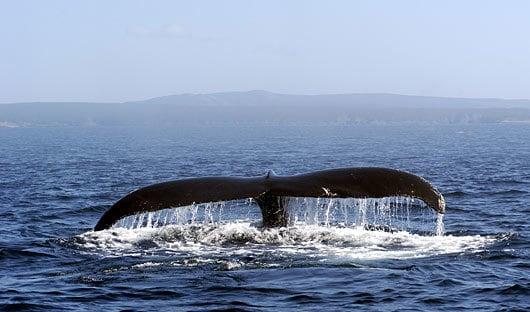 Newfoundland Canada whale Canadian Maritimes