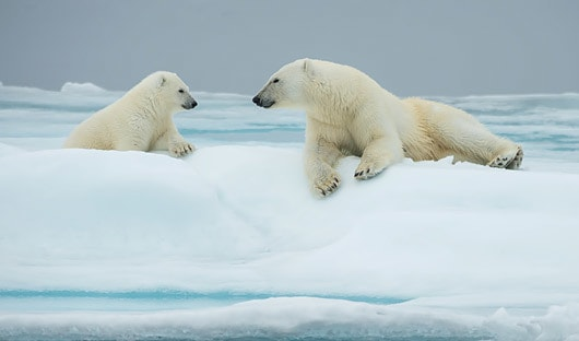Polar bear and cub Spitsbergen