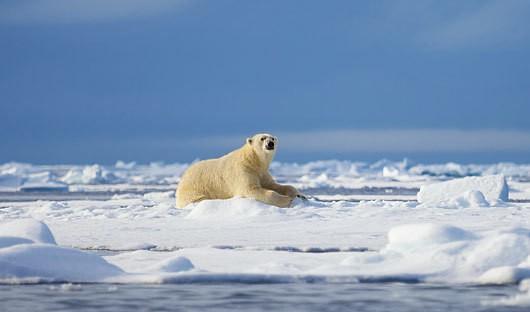 Polar bear Spitsbergen, Svalbard