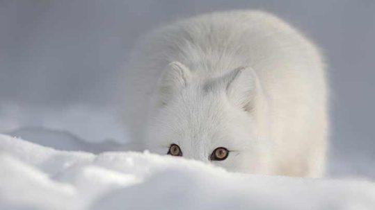 Arctic-Fox-reduced