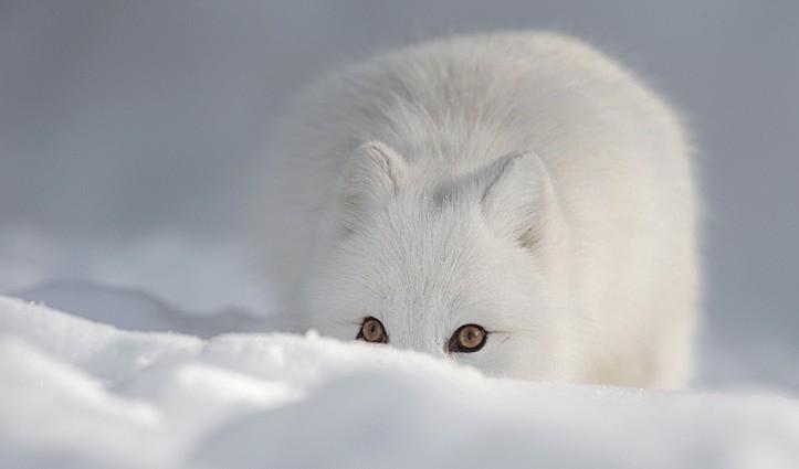 Arctic Fox Arctic Wildlife