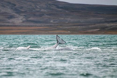 Beluga Whales Arctic Wildlife