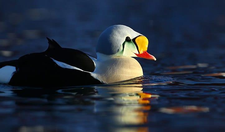 King Elder Duck Arctic Wildlife