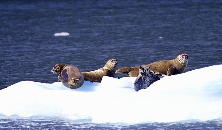 Bearded Seals Arctic Wildlife
