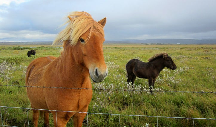Icelandic horse on Iceland Golden Circle tour