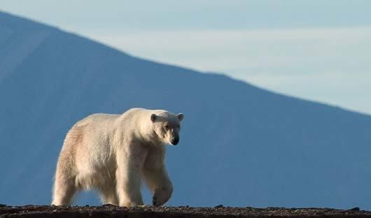 Male-polar-bear-Spitsbergen-Arctic-Cruise-Travel-Centre