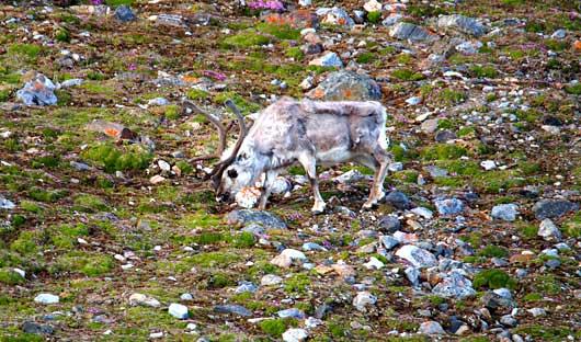 Reindeer Svalbard Spitsbergen