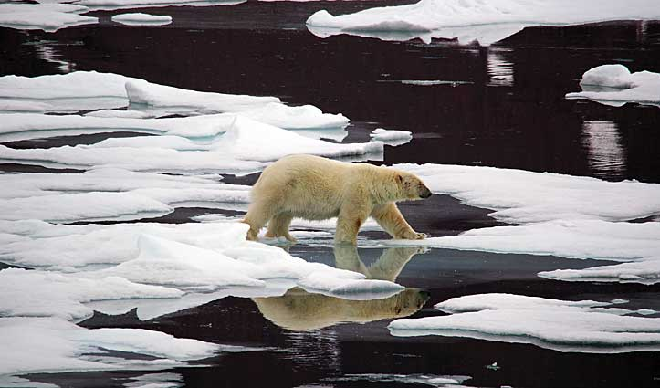 Polar Bear Spitsbergen Svalbard