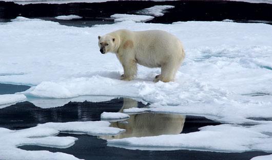 Polar Bear Svalbard