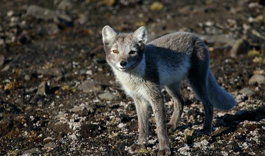 Arctic-Fox-summer-FRanz-Josef-Land-shutterstock_323518226