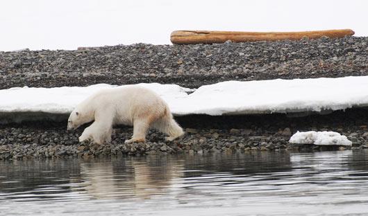 Polar-bear-foraging-Spitsbergen