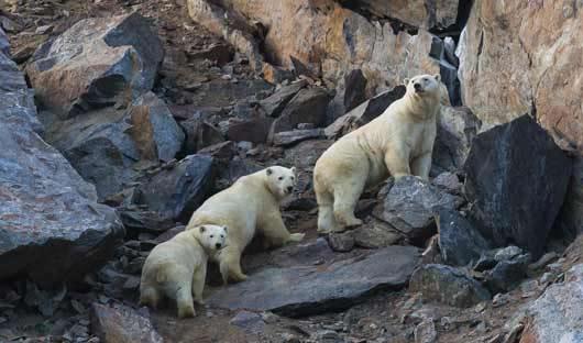 Polar-bears-Wrangel-Island-Katya-Ovsyanikova