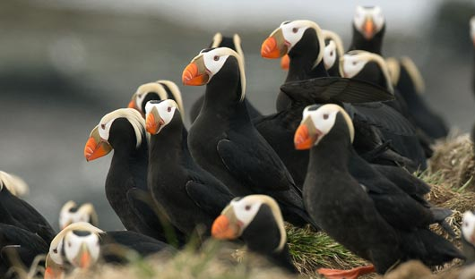 Tufted-puffin-colony-shutterstock_372324817-small