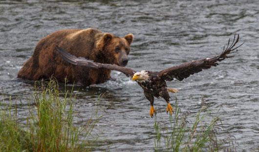 brown-bear-&-Steller's-sea-eagle-shutterstock_642377365