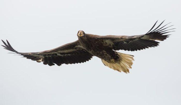 shutterstock_415057531 stellar sea eagle, russia resize