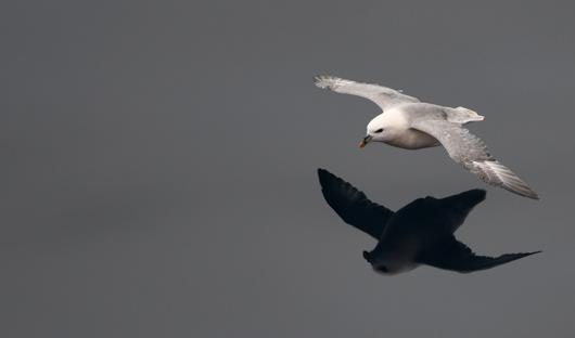Fulmar-reflection-Barents-Sea-blog
