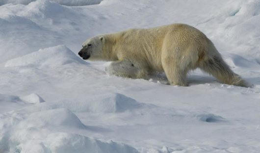 Polar-bear-trekking-in-snow-Sea-Ice-on-way-back-from-North-Pole-blog