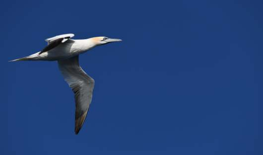 Gannet Barents Sea resized