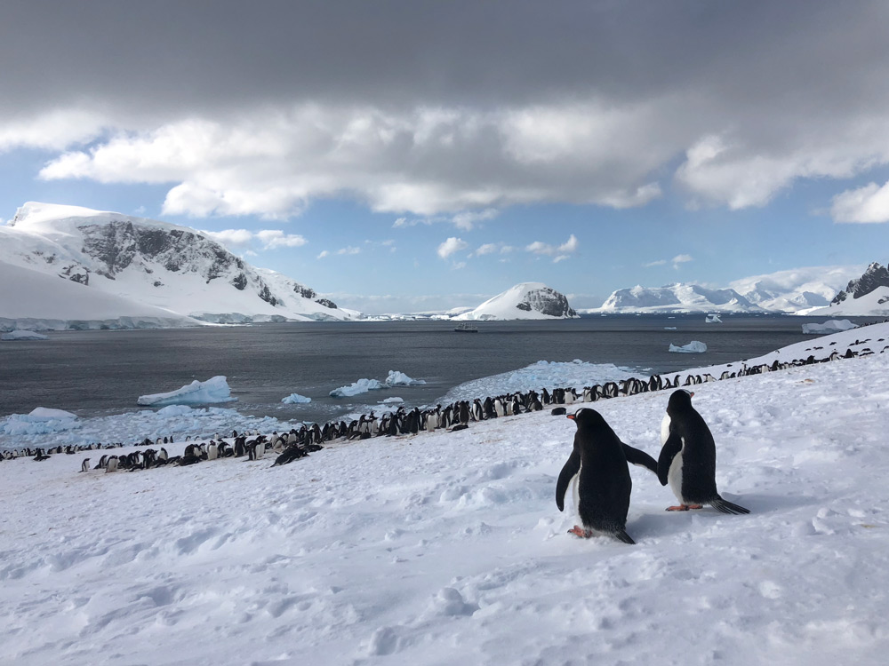 Courting Gentoo Penguins- Antarctic Penguins by Jacqui Read