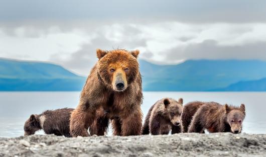 Shutterstock- Bears-Kamchatka, Russia_1070839184_resized