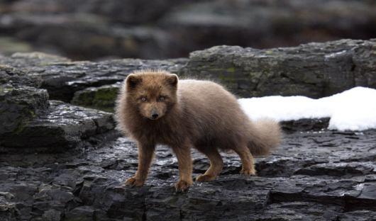 shutterstock_377728165_ arctic fox