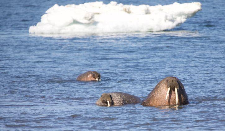 Quark, Walrus in the Water
