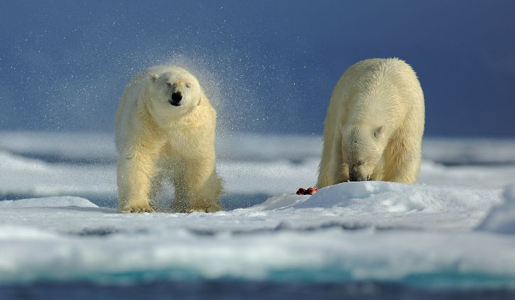 Polar Bear Arctic 2shutterstock_240473758 resize