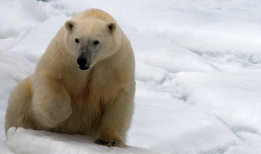 Franz Josef Land Polar Bear