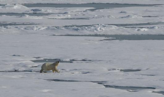 marching-Polar-Bear-small-web-site
