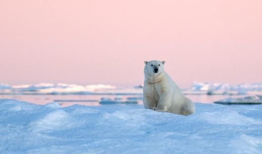 Resized Heritage Expeidtions©ATerauds_Polar Bear RFE