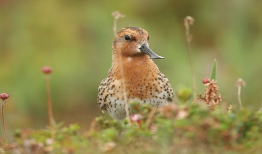 spoon-billed sandpiper-heritage-expeditions