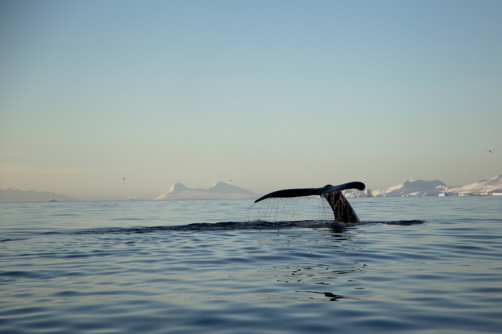 Whale Tail by Eliot Simpson