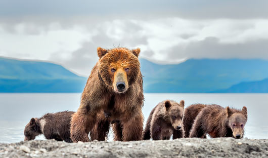 Bears Kamchatka Russia