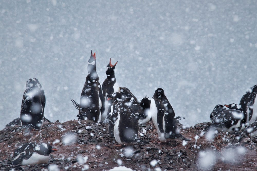 Gentoo Penguins by Querida David