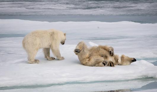 Quark Only Polar Bear and cub Greg Lepperp