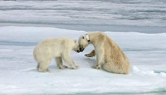 Polar Bears Bonding