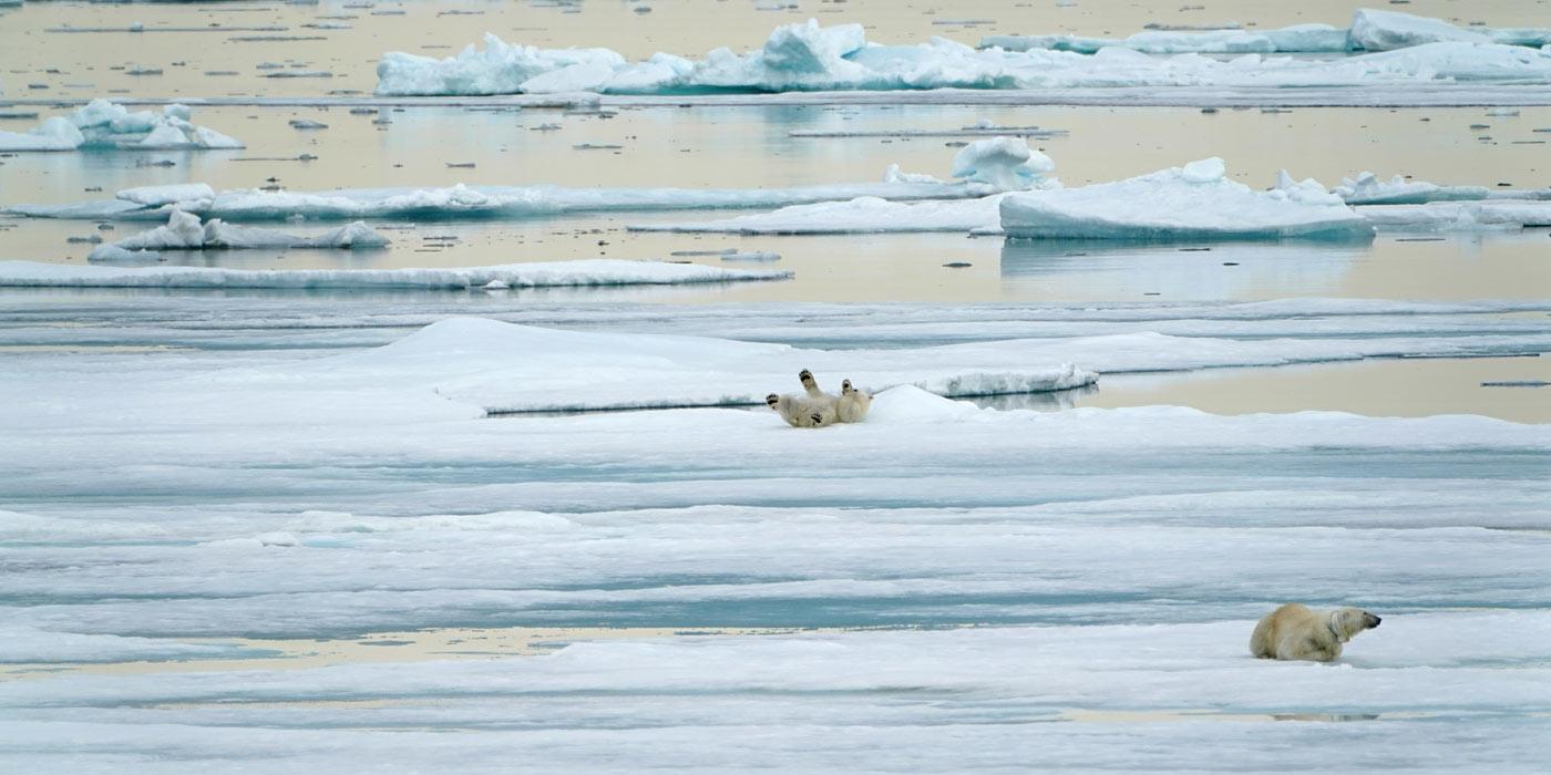 Polar Bears on Ice Flow